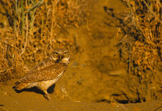 Adult Burrowing Owl with Cricket Royalty Free Stock Photo