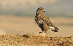 Adult buzzard with prey Stock Photo