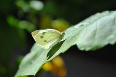 Adult Cabbage White Butterfly Stock Photos
