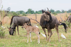 Adult and calf Blue Wildebeest (Connochaetes taurinus) with catt Royalty Free Stock Photos