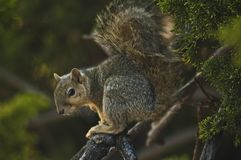 California GraySquirrel watches on a branch in evergreen pine tree stock photos