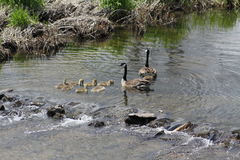 Canada Geese and Goslings Branta canadensis. Adult Canada Geese and Goslings swimming in a slow moving stream, above a little rocky blockage Royalty Free Stock Photos