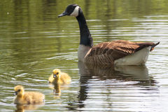 Adult canada goose with young Royalty Free Stock Photos