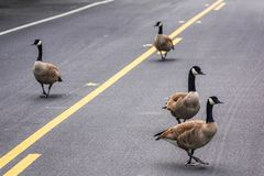 Free Adult Canadian Goose Flock Blocking Busy Road Traffic By Walking On Street Center Turn Lane. Urban Wildlife Meander On Street And Royalty Free Stock Image - 168269736