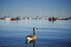Canadian Goose swimming on a lake. Adult Canadian Goose swimming on lake Ontario with various sailboats in the backgraound Royalty Free Stock Images