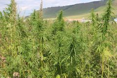 Adult cannabis plants on the outskirts of the village in Republic of Khakassia. royalty free stock photography