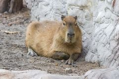 Adult Capybara On Vacation At The Budapest Zoo Stock Image