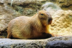 Adult capybara resting Stock Photo