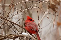 Adult cardinal perched in a tree. An adult cardinal perched in a bush stock photography