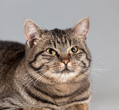 Adult cat Royalty Free Stock Image