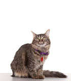 Adult Cat. Against white background with collar and tags Royalty Free Stock Photography