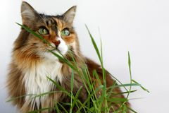 Adult cat Beautiful multicolor wool. Cat eats grass. Grass for cats stock photography