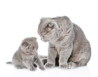 Adult cat brings up a a kitten Royalty Free Stock Image