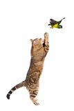 Adult cat catching bird Royalty Free Stock Images