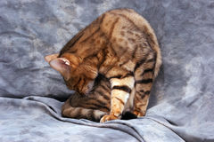 Adult cat cleaning. Portrait of bengal cat twisting to clean himself against a grey background Royalty Free Stock Photography