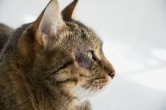 Cat with dermatitis problem near the eye Royalty Free Stock Photo