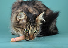 Adult cat eats a franfurter sausage Stock Photo