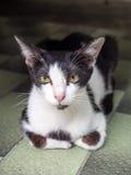 Adult cat on floor Stock Image