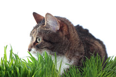 Adult cat in grass. Isolated on white Stock Photos