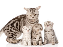 Adult cat with kittens. isolated on white background Stock Photos