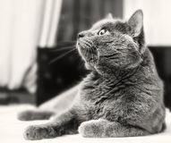 Adult cat looking up Stock Images