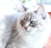 Adult cat, neva masquerade version of siberian cat Stock Photo