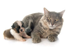 Adult cat and puppy Royalty Free Stock Photo