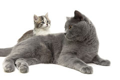 Adult cat and small kitten on a white background Royalty Free Stock Photos
