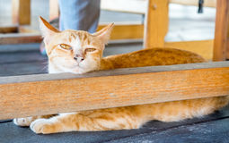 Adult cat under table Stock Image