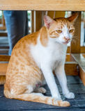 Adult cat under table Royalty Free Stock Photography