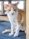 Adult cat under table Stock Images