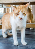 Adult cat under table Royalty Free Stock Image