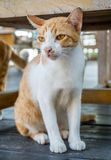 Adult cat under table Stock Photography
