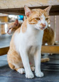 Adult cat under table Royalty Free Stock Photo