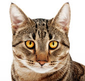 Adult cat. Royalty Free Stock Photo