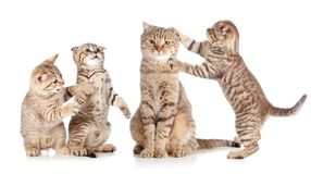 Adult cat and young kittens group  on white Royalty Free Stock Photos
