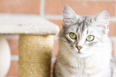 adult catof siberian breed, silver version, on the scratching po Royalty Free Stock Photography