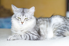 adult catof siberian breed, silver version, on the scratching po Royalty Free Stock Photo