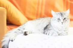 Adult catof siberian breed, silver version, on the sofa Royalty Free Stock Photo