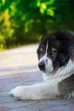 Adult Caucasian Shepherd dog. Fluffy Caucasian shepherd dog Stock Photos
