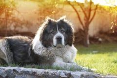 Adult Caucasian Shepherd dog. Fluffy Caucasian shepherd dog is lying on the ground. Adult Caucasian Shepherd dog in the yard stock photo