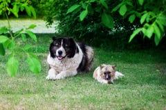 Adult Caucasian Shepherd dog. Stock Images