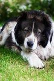 Adult Caucasian Shepherd dog. Stock Photography