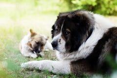 Adult Caucasian Shepherd dog. Stock Photos