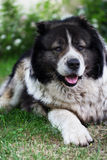 Adult Caucasian Shepherd dog. Royalty Free Stock Photos