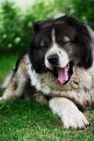 Adult Caucasian Shepherd dog. Royalty Free Stock Images
