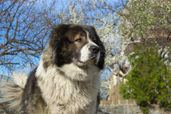 Adult Caucasian Shepherd dog at the garden in springtime Stock Photos