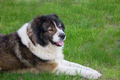 Adult Caucasian Shepherd dog  in the yard Royalty Free Stock Image