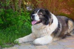 Adult Caucasian Shepherd dog  in the yard Stock Photos