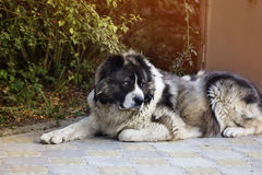 Adult Caucasian Shepherd dog  in the yard Stock Photography
